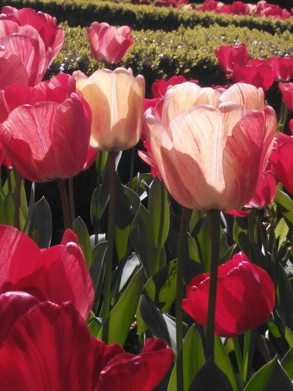 Photo of sunlit red and yellow tulips in the Grange gardens by Hannah Hill